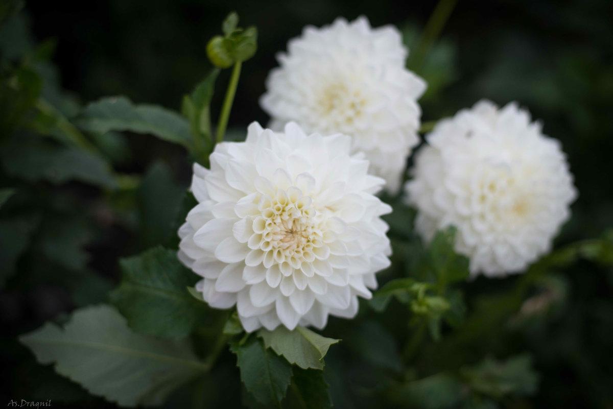Хризантемы - Астарта Драгнил