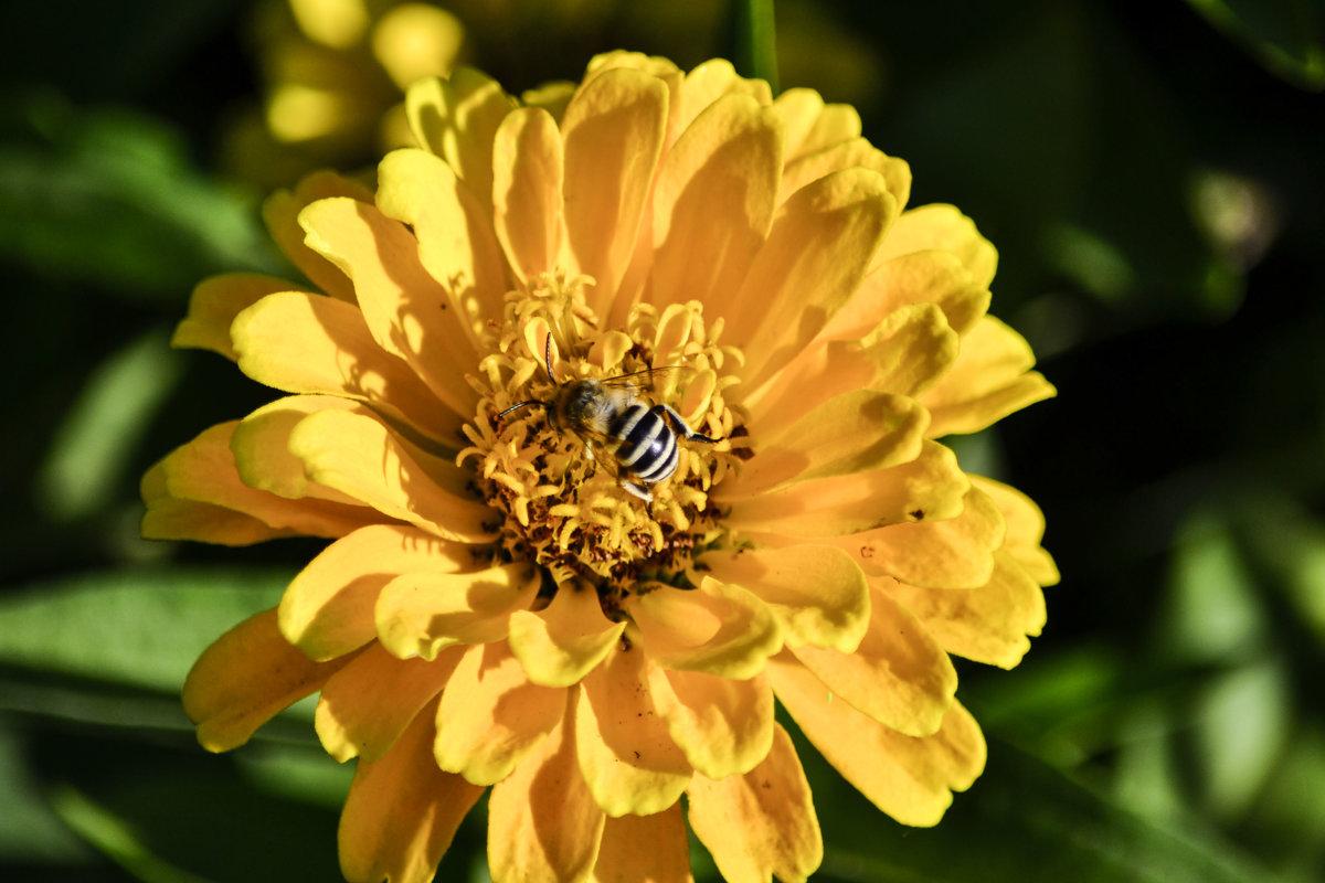 У пчелы осенние заботы. - Aлександр **