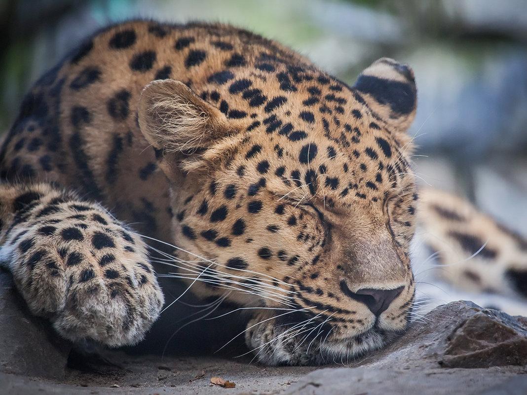 Леопард - Владимир Габов