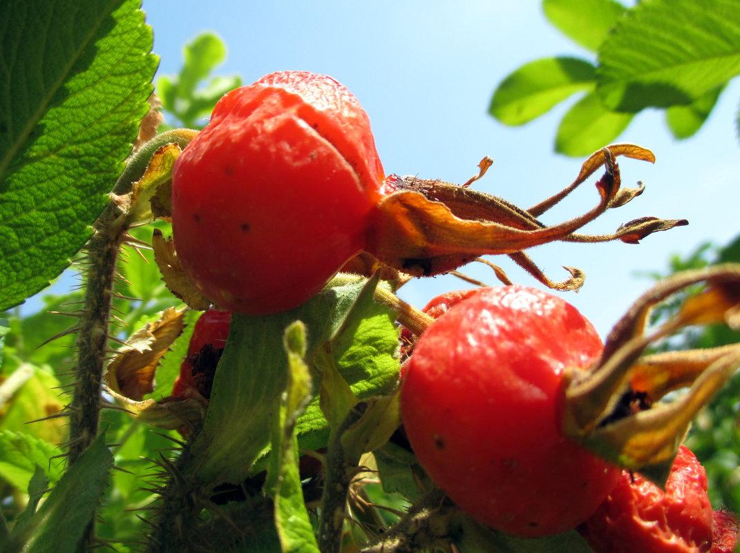 Плоды наполненные солнцем - Наталья Пономаренко