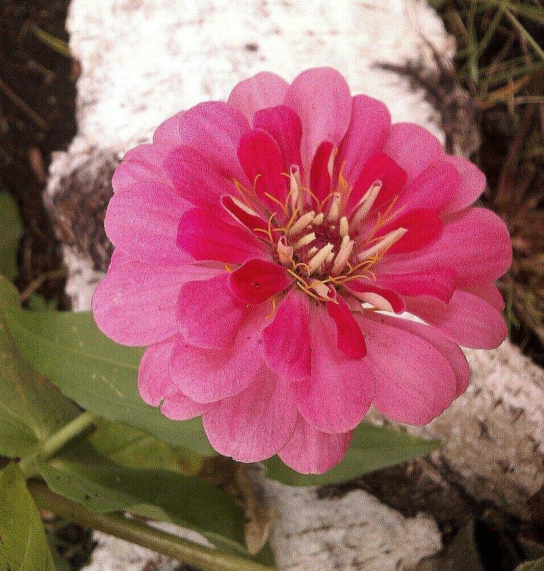 Цветок - Елена *