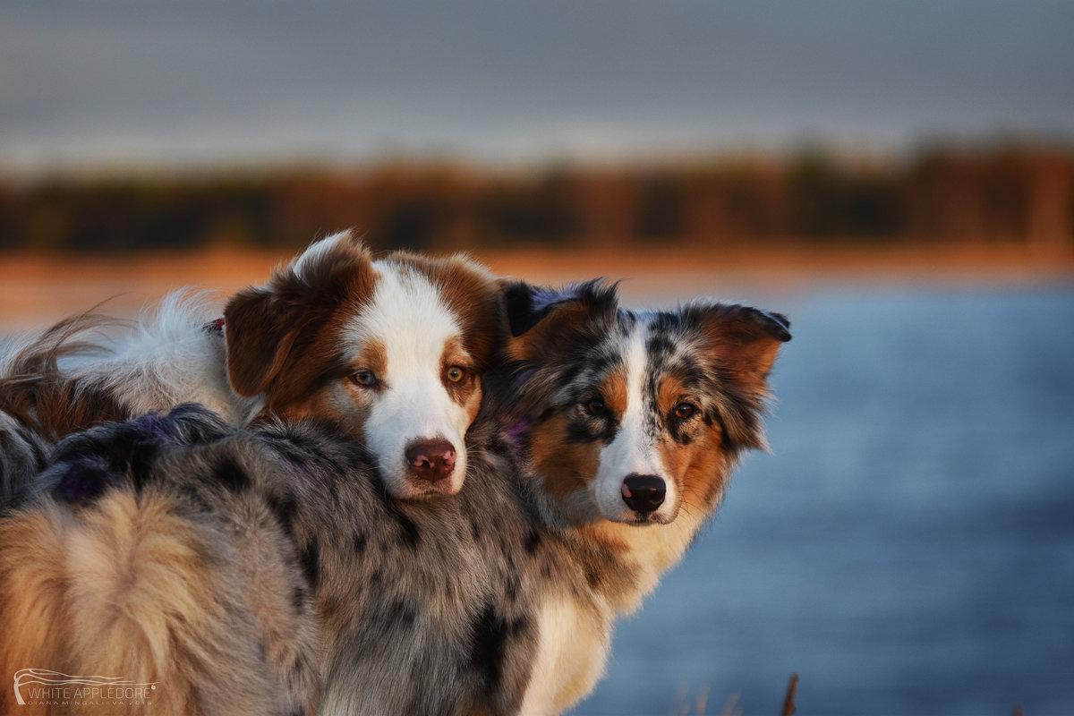 Уютные собачки - Диана