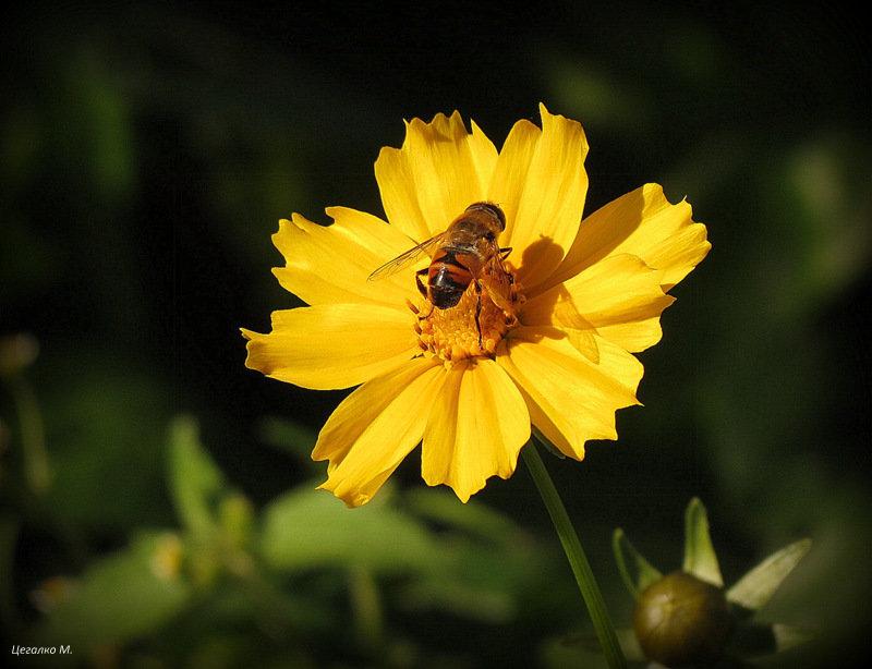Пчела и цветок - Михаил Цегалко