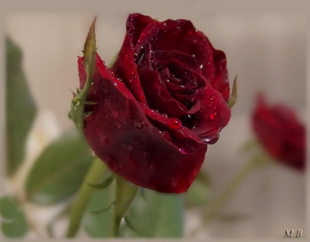 Красная роза раскрыла бутон - и разлились ароматов флюиды. - Людмила Богданова (Скачко)