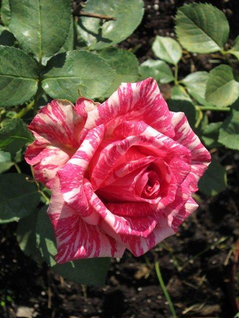 Двухцветная роза - Дмитрий Никитин