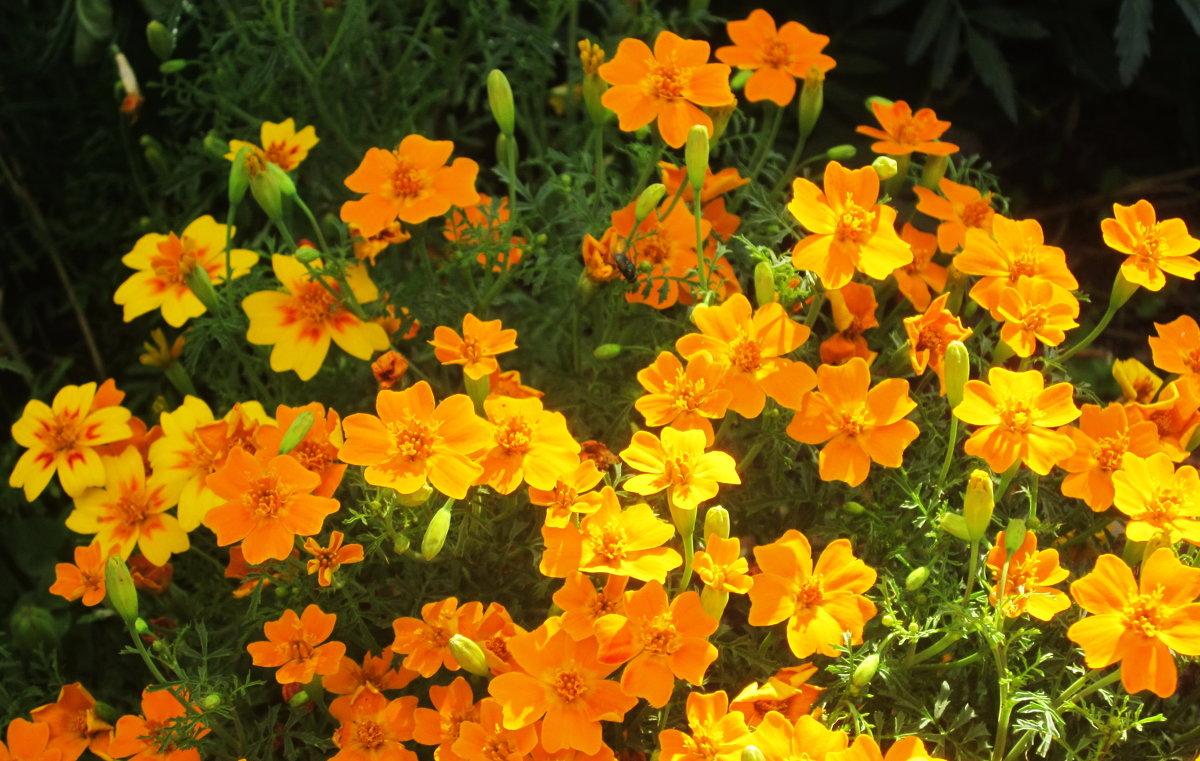 Разновидность бархатцев- маленькие солнышки - татьяна