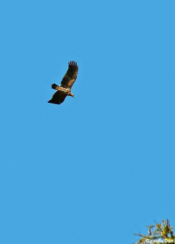 орлан белохвост - gawrilа - dan
