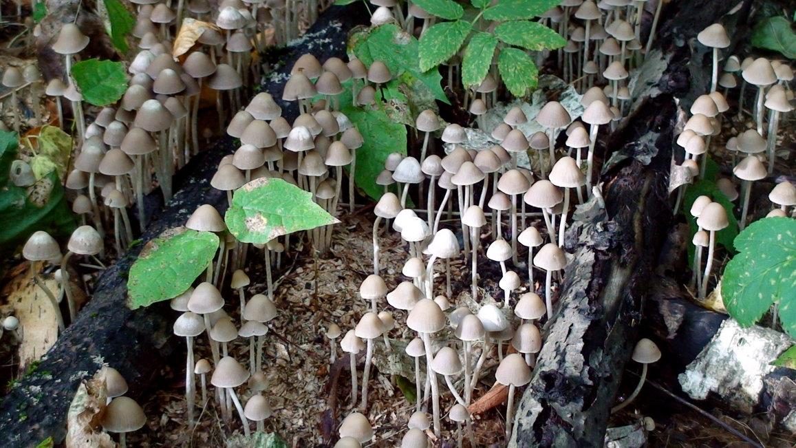 грибы поганки - elena manas