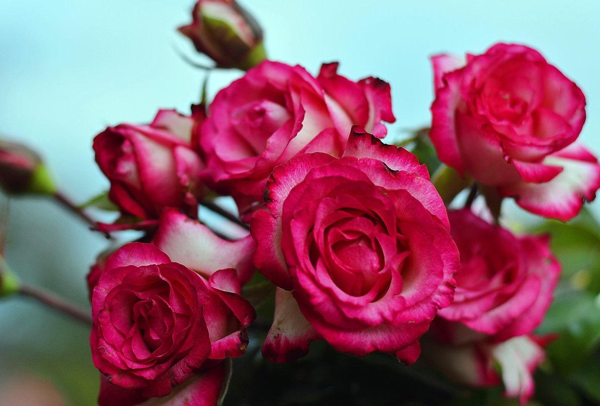 Розы - Олеся