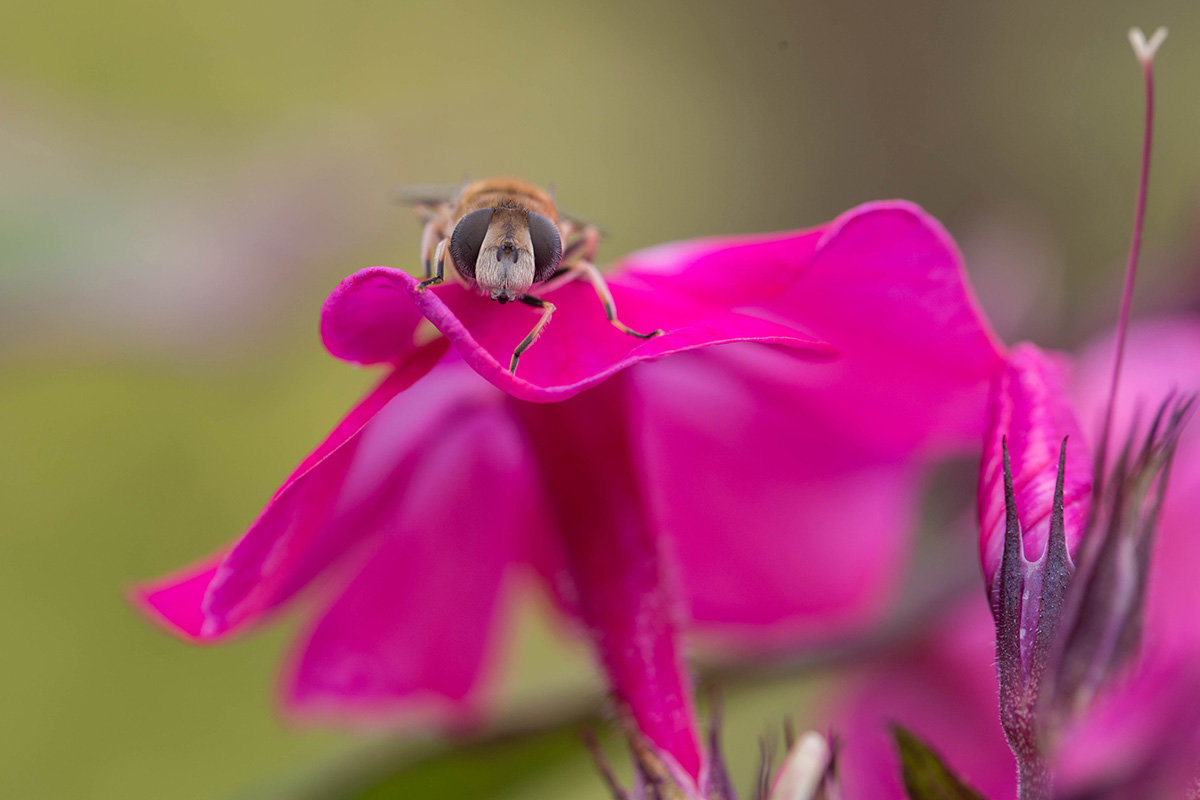 Цветочная муха, похожая на трутня, отдыхает - Елена Ахромеева