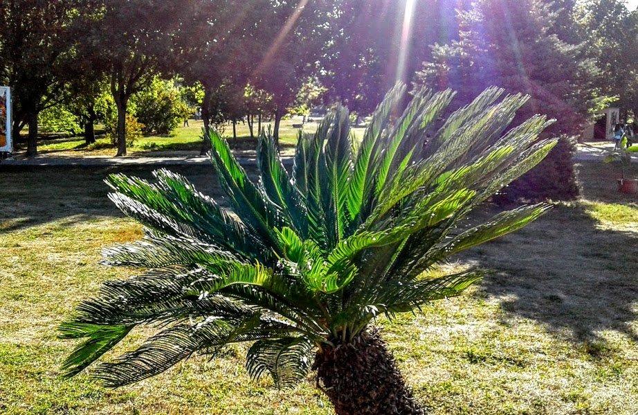 Пальмочка в лучах солнца - Наталия Каминская