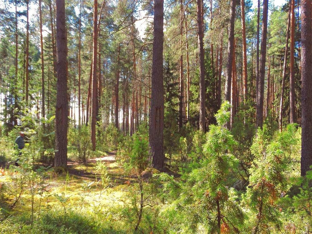 Тёплый день в хвойном лесу - Светлана Лысенко