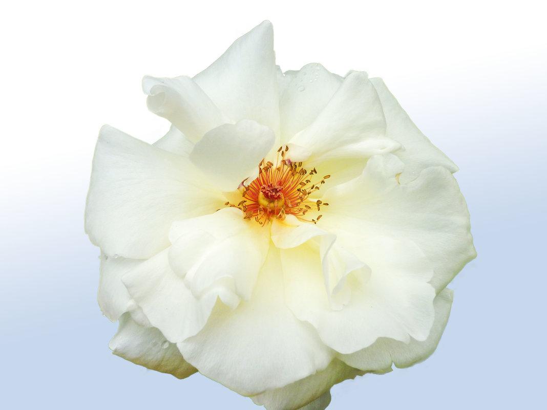 Белая роза - юрий Амосов