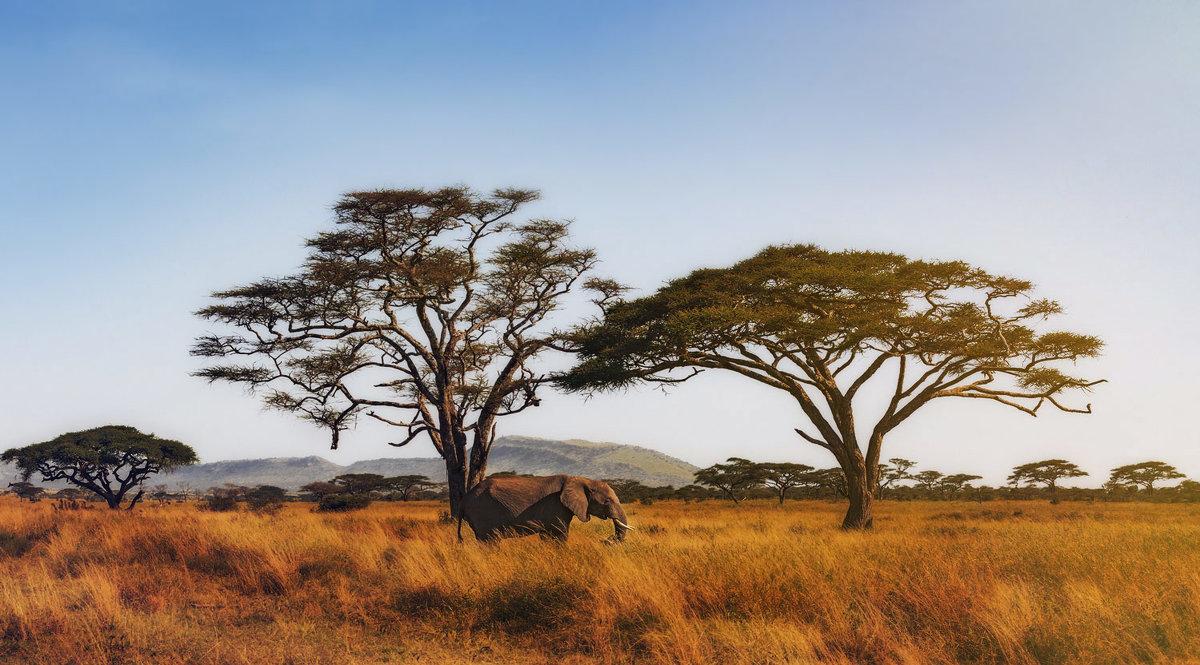 Саванный слон...Танзания! - Александр Вивчарик