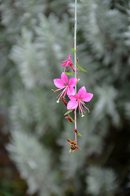 Розовый цветок. - Оля Богданович