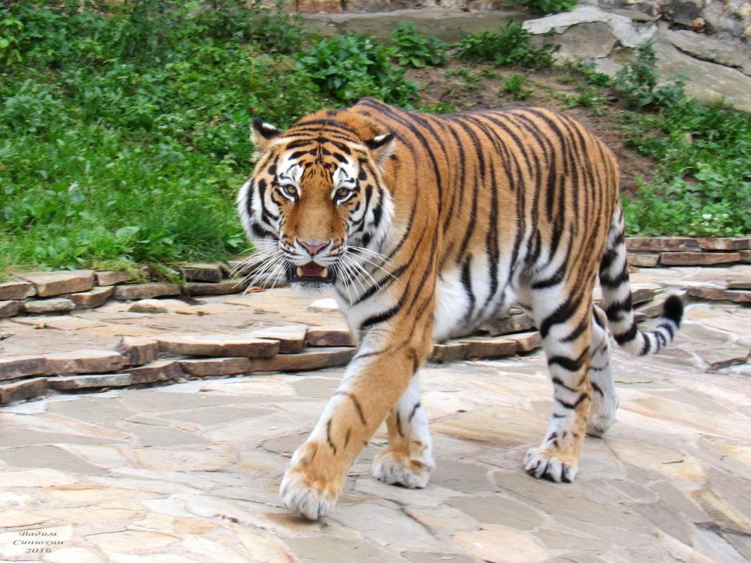 Амурский или уссурийский  тигр. - Вадим Синюхин