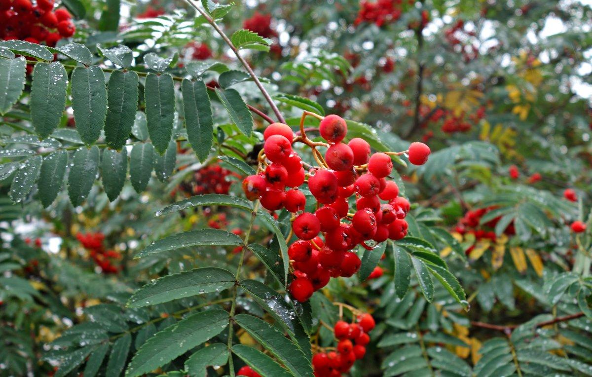 Красная рябина, ягоды с горчинкой... - Galina Dzubina