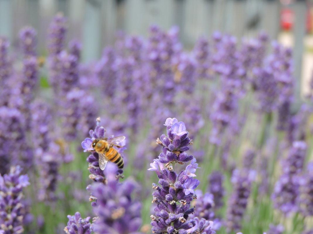 Пчела - Аркадий