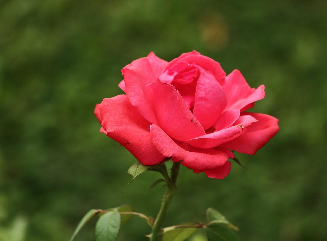 Розовая - Светлана