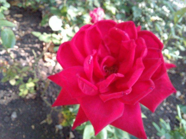 роза - Марина Бельская