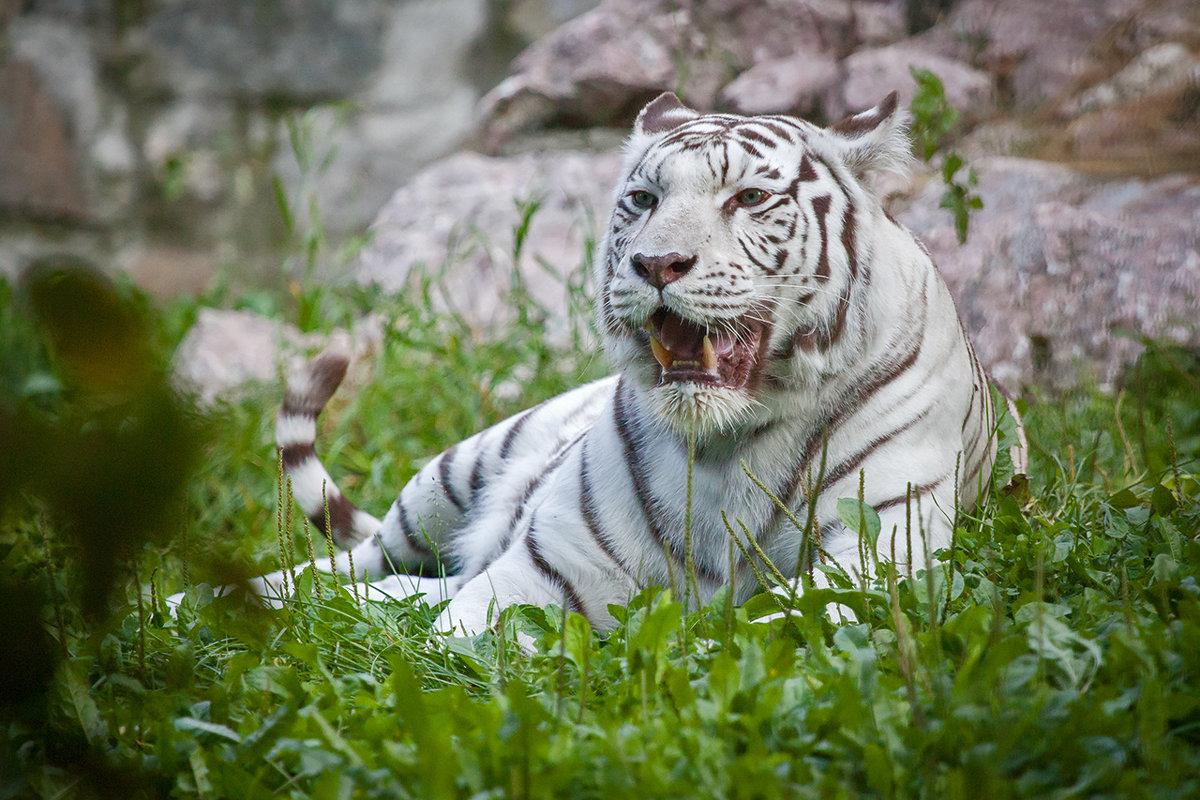 Бенгальский тигр - Владимир Габов