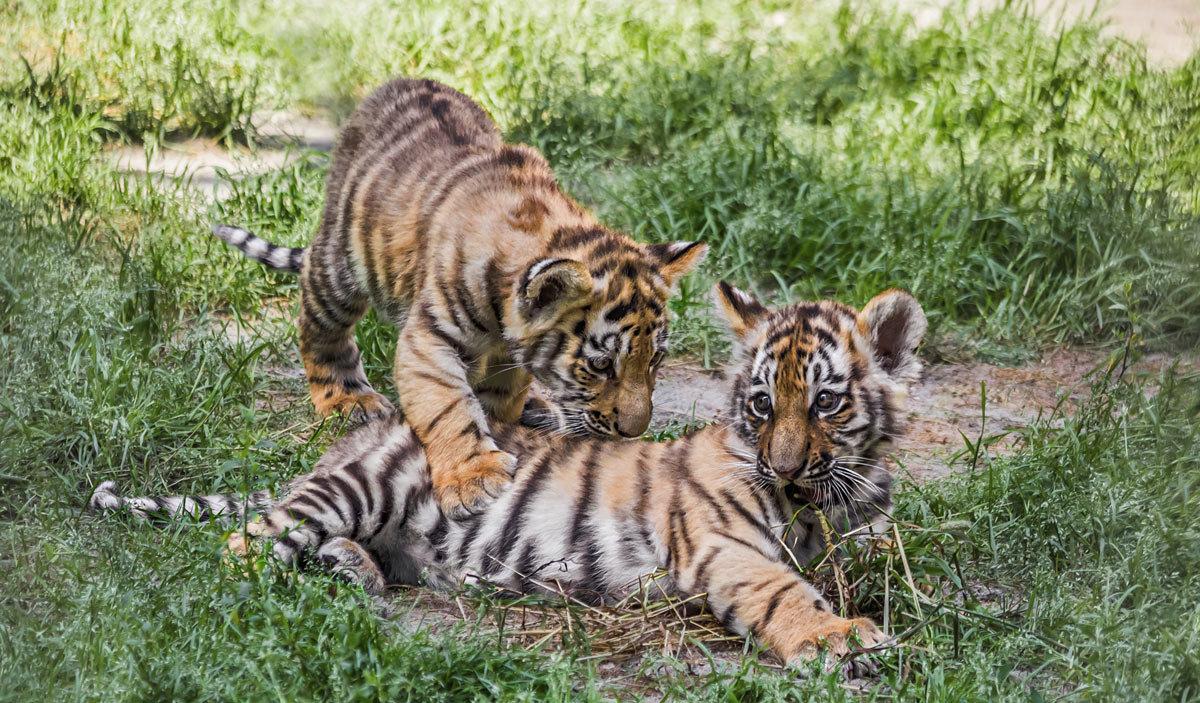 Тигрята - Nn semonov_nn