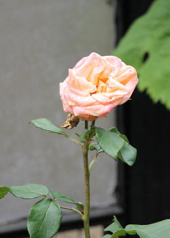 Цветы у дома - Олег Афанасьевич Сергеев