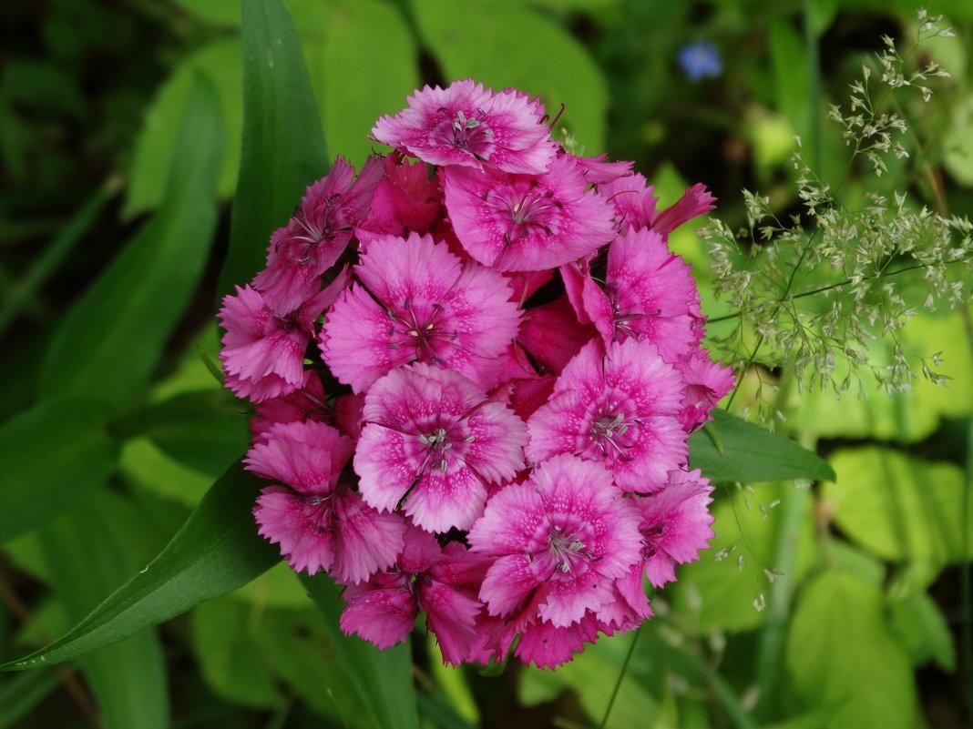 Розовая турецкая гвоздика - Svetlana27