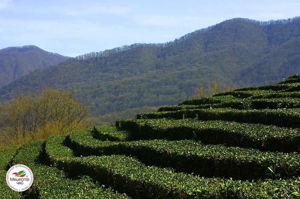 Чайная плантация - nifaed