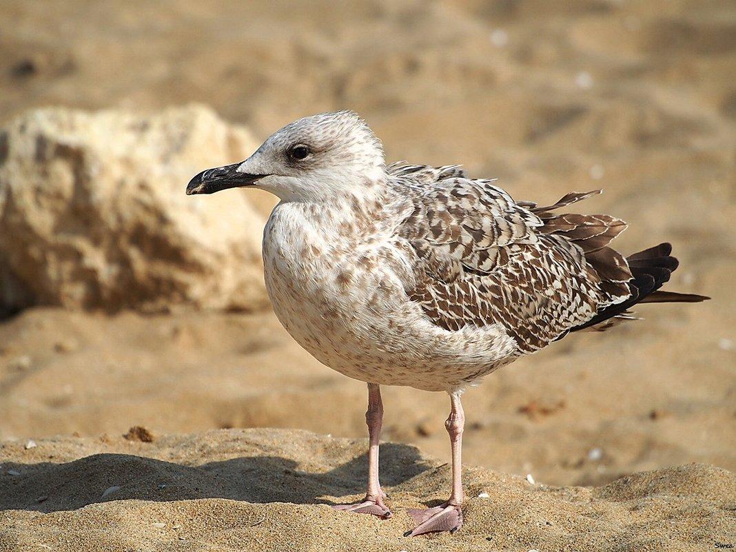 Серебристая чайка - Swetlana V