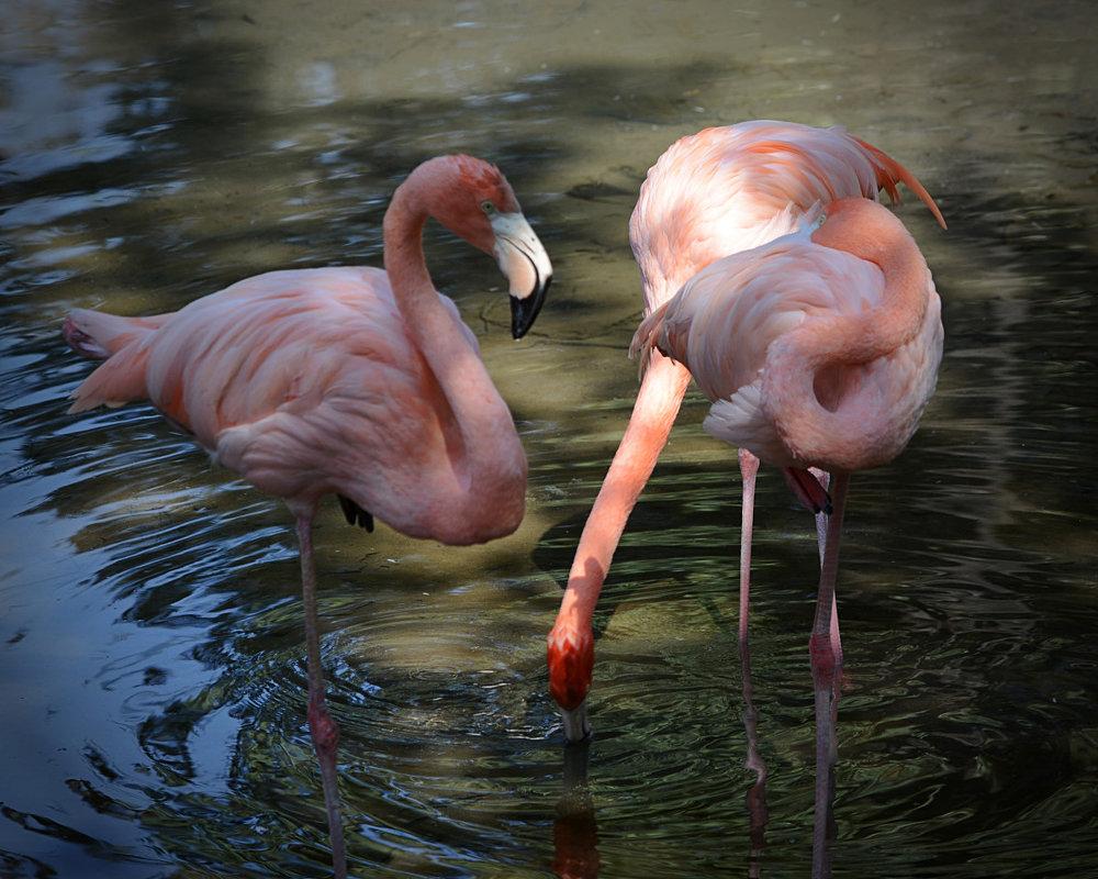 Алматинский зоопарк. Розовые фламинго (1/3) - Асылбек Айманов