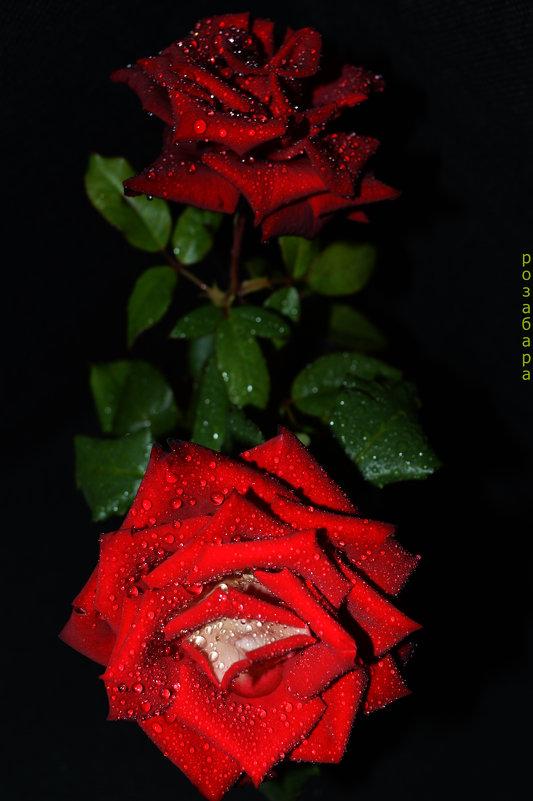 розочка плачет - Роза Бара
