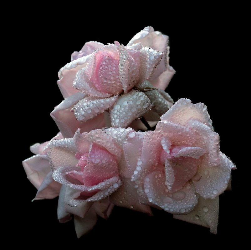 розы - Михаил Бибичков