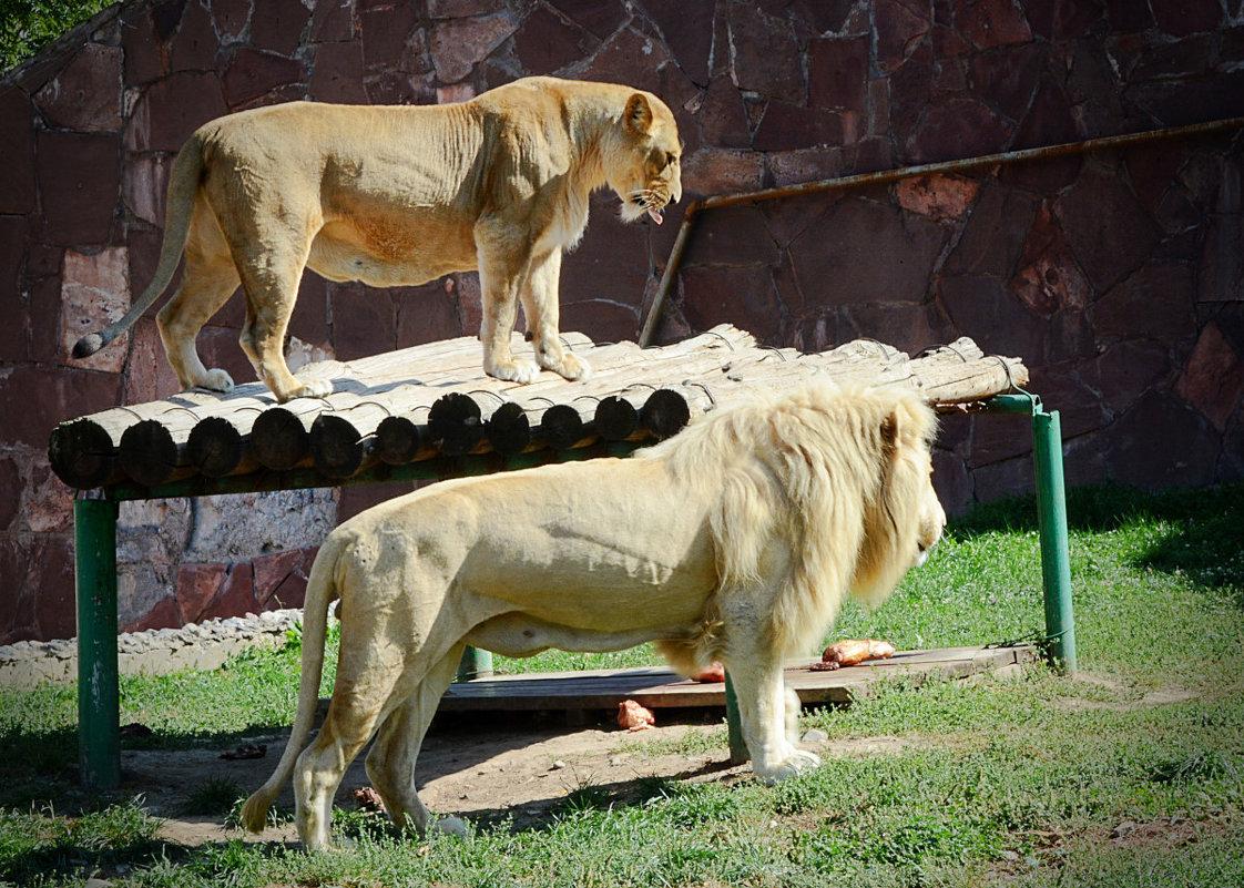 Львица и лев - Асылбек Айманов