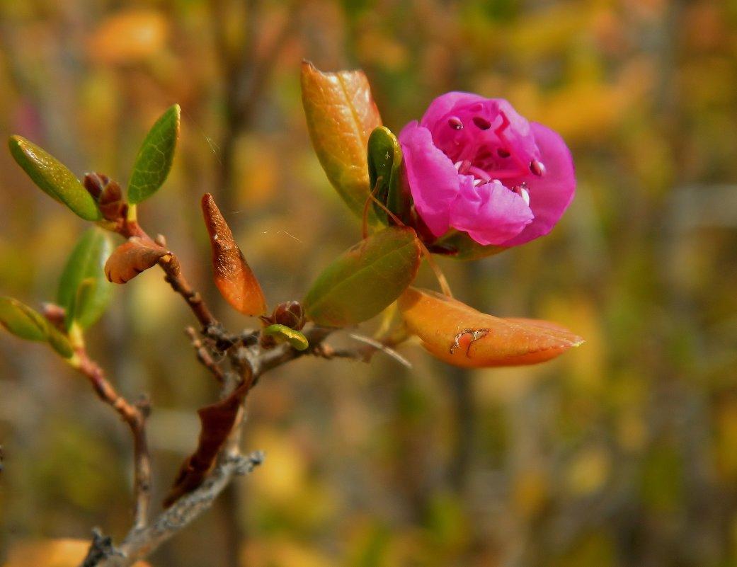 чудо забайкальской осени-цветущий багульник - Анна