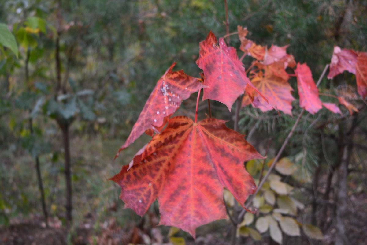 Кленовые листья. - Надежда Акушко