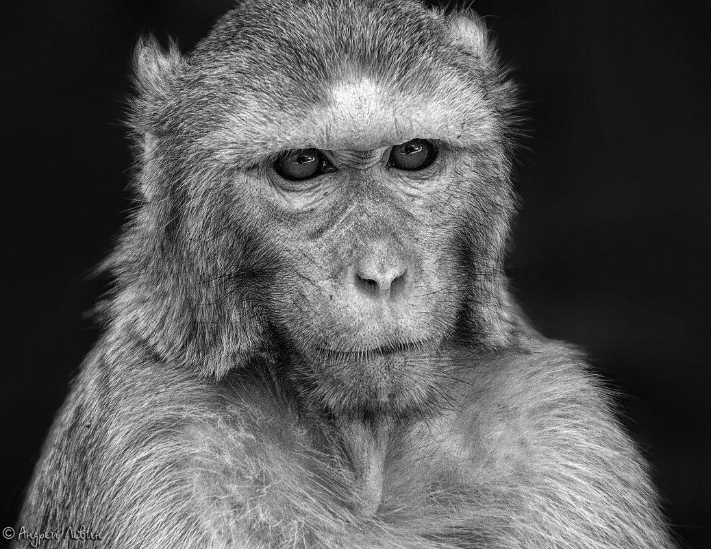 """Мьянма. Портрет """"мудрой"""" обезьяны с горы Попа - Андрей Левин"""