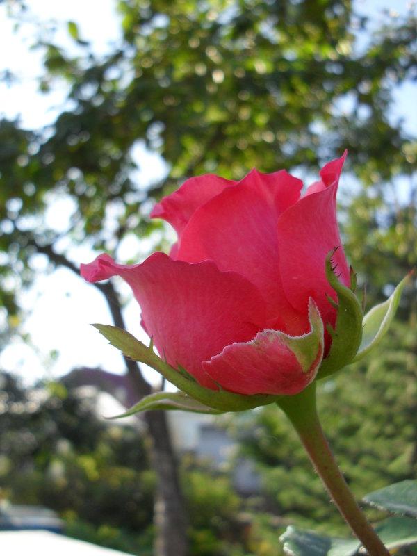 Роза - Анатолий