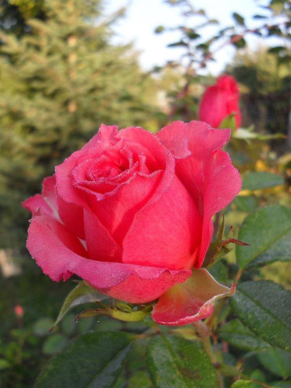 Утренняя роза - Анатолий
