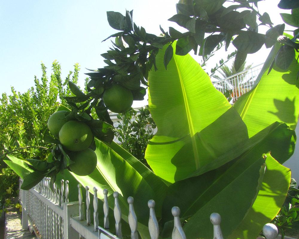 солнце,цитрусы,бананы - tgtyjdrf