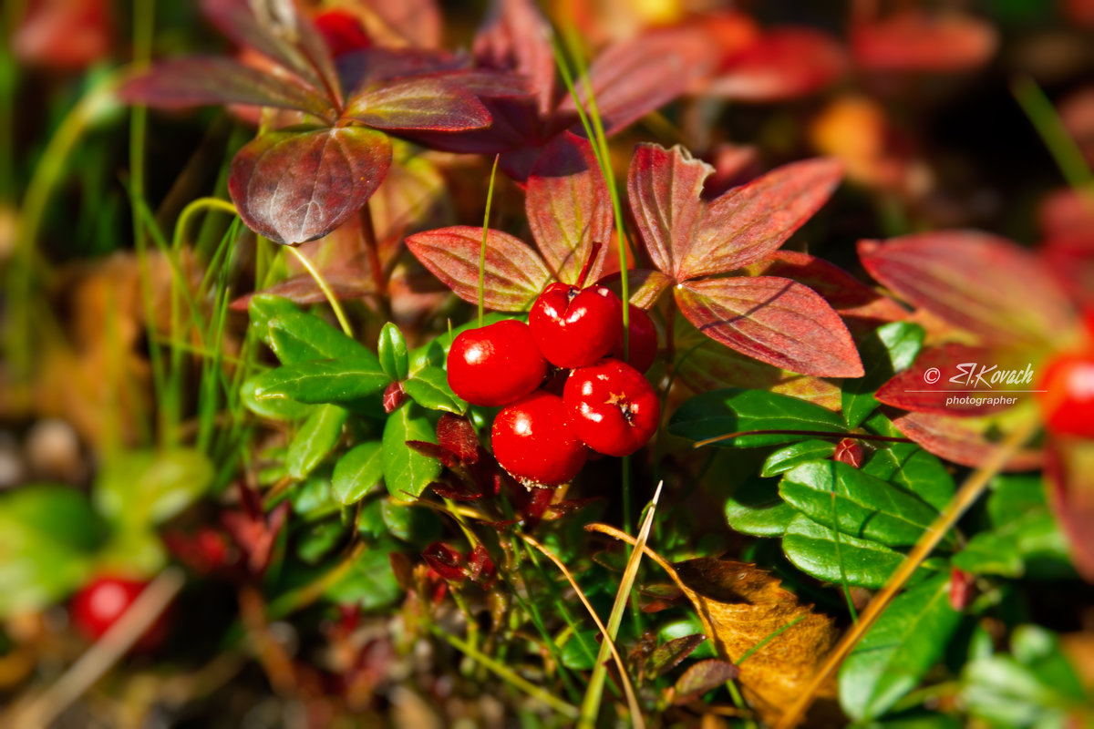 Волчья ягодка - Elena Kovach