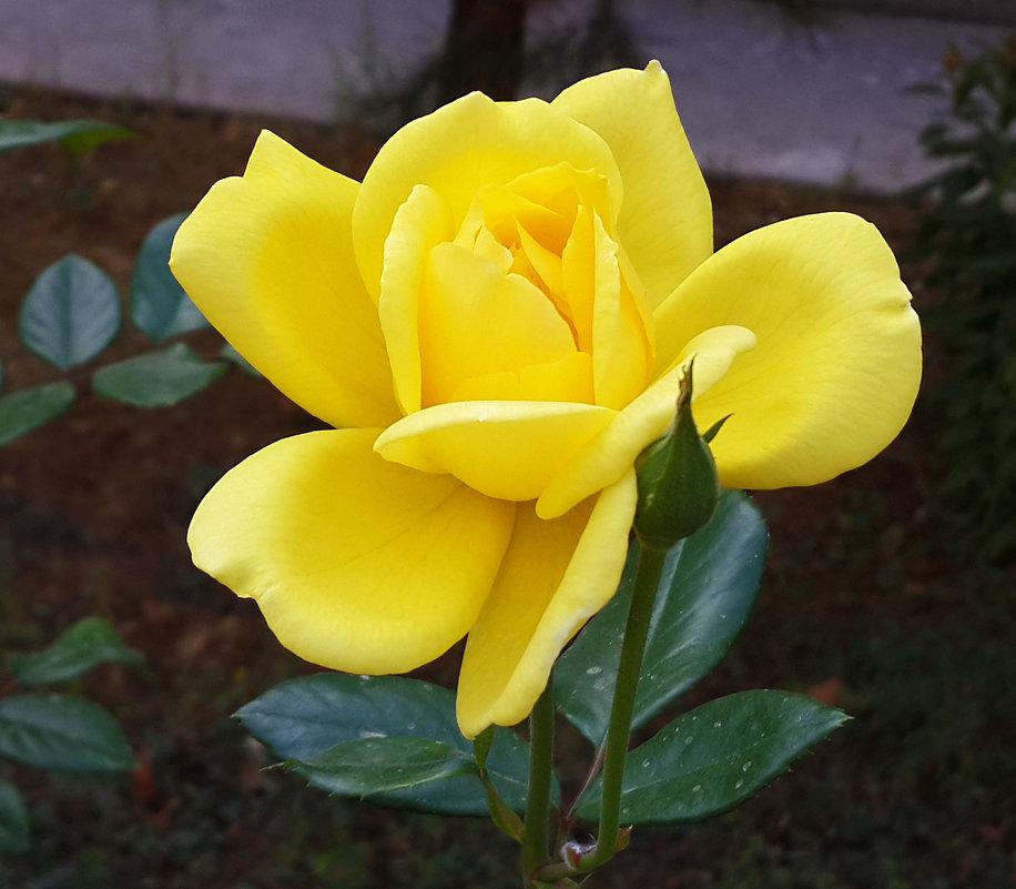 Желтая красотка - Светлана