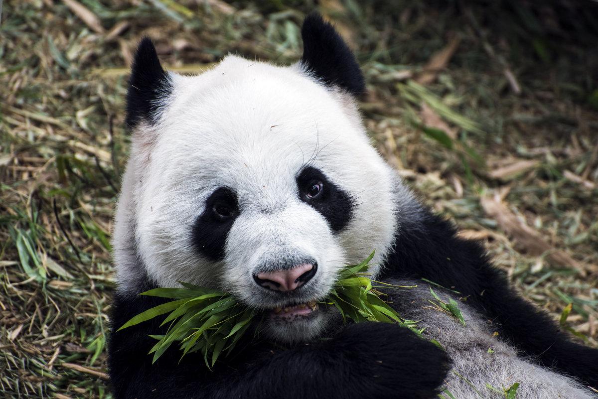 Панда - ALLA Melnik
