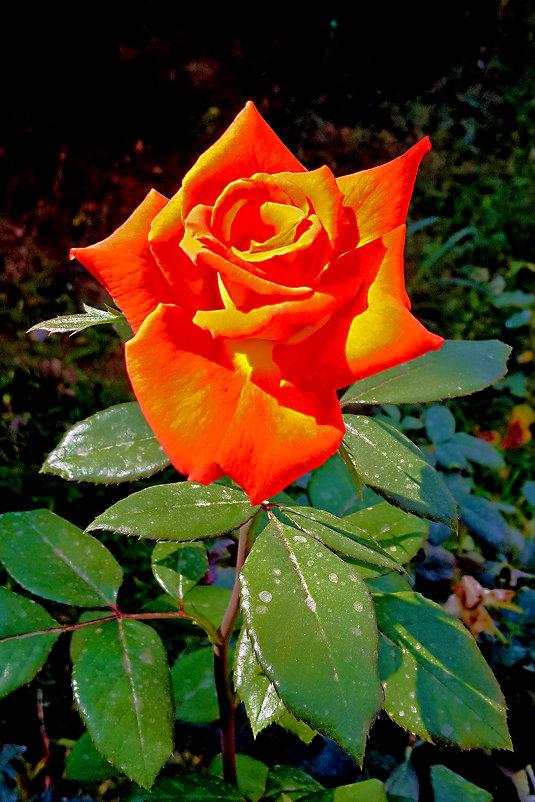 Роза-костер - Светлана