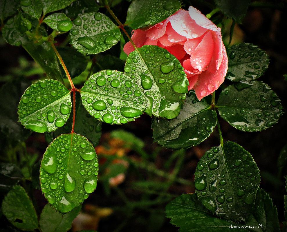 После дождя - Михаил Цегалко