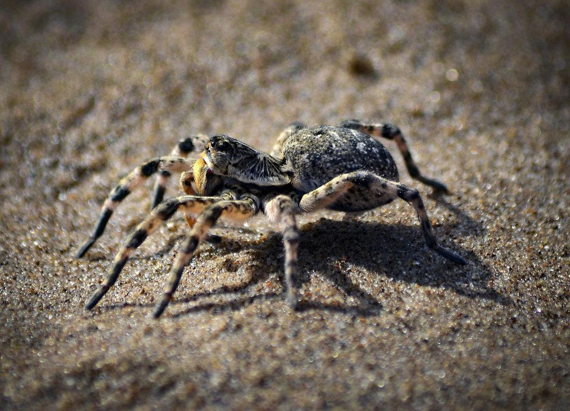 Южнорусский тарантул (мизгирь) - Владимир Виттих