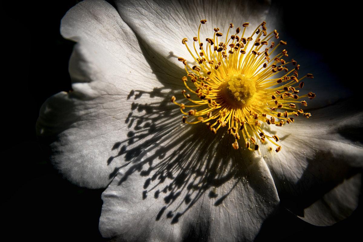Утро с цветком шиповника. - Ахмат Б.