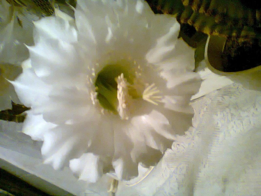 цветок кактуса - Лара