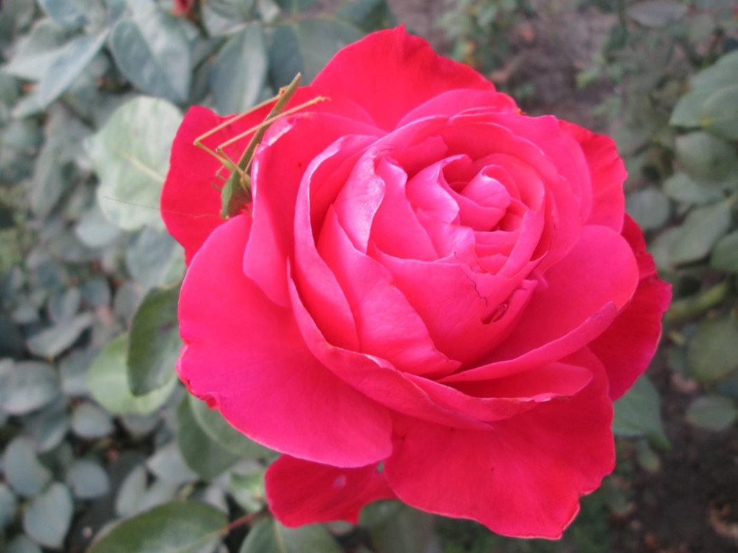 Роза с брошью... - Тамара (st.tamara)
