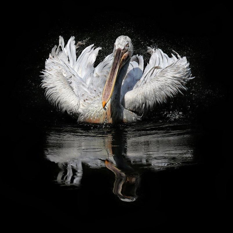 пеликан - Михаил Бибичков